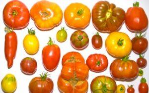 Variedad tomates